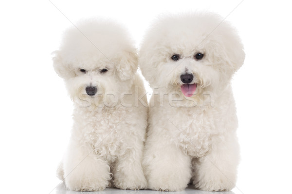 couple of beautiful bichon frise puppies sitting together Stock photo © feedough