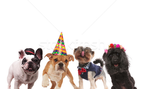 four cute little dogs ready for a party  Stock photo © feedough