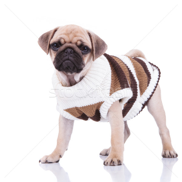 adorable standing pug wearing a brown and white sweater Stock photo © feedough