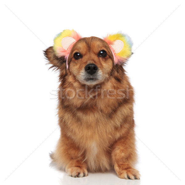 brown metis dog looking funny with colored ears headband Stock photo © feedough