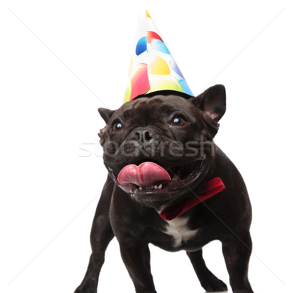 excited birthday french bulldog with red bowtie looks to side Stock photo © feedough
