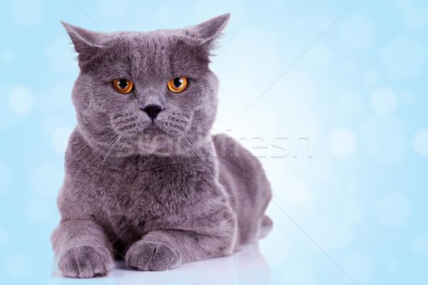 Сток-фото: серьезный · английский · кошки · глядя · камеры · синий