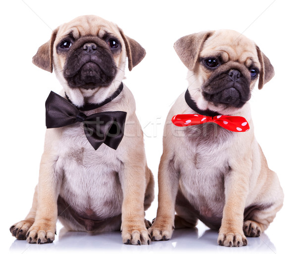 lady and gentleman pug puppy dogs Stock photo © feedough