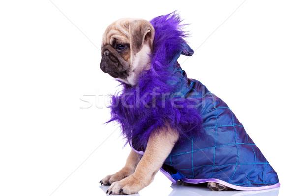 Foto d'archivio: Vista · laterale · cute · cucciolo · cane · indossare · vestiti