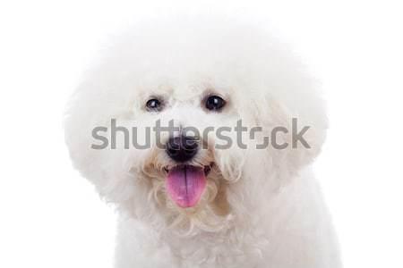 bichon frise sticking tongue out Stock photo © feedough