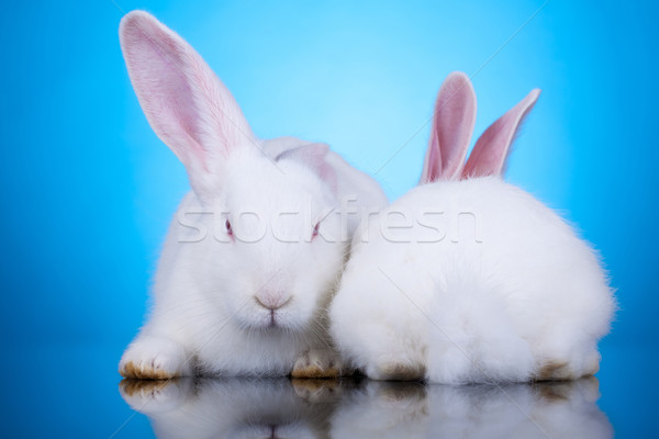 two white rabbits in funny position Stock photo © feedough