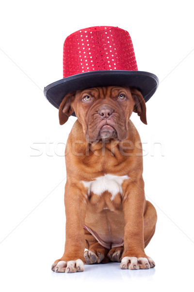French mastiff wearing a red show hat Stock photo © feedough