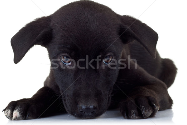 sad little puppy dog Stock photo © feedough