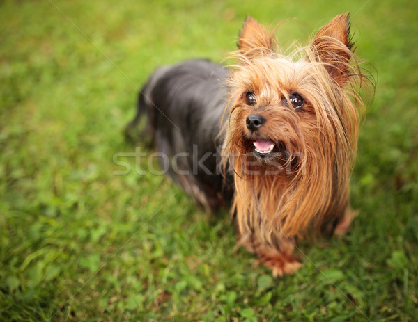 Heureux peu yorkshire terrier chiot chien Photo stock © feedough