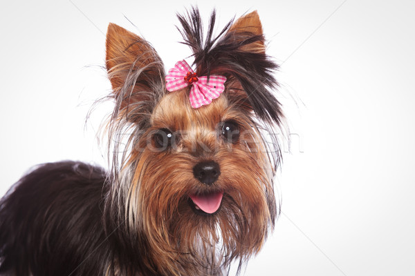 yorkshire terrier puppy with pink bow in its hair Stock photo © feedough