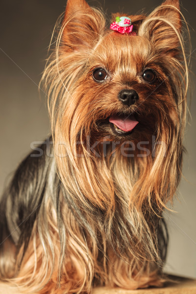 Yorkshire terrier cachorro cão boca aberta feliz Foto stock © feedough