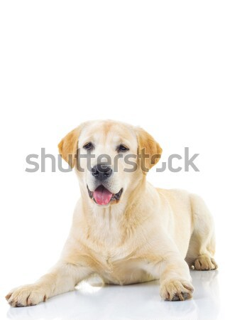 прелестный Лабрадор ретривер женщины собака сидят белый Сток-фото © feedough