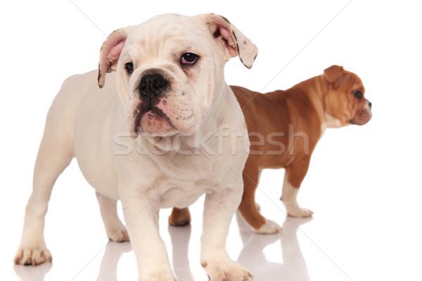 two english bulldog puppies on white background Stock photo © feedough