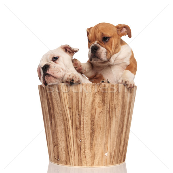 brown english bulldog puppy pushes its brother away with  paw  Stock photo © feedough