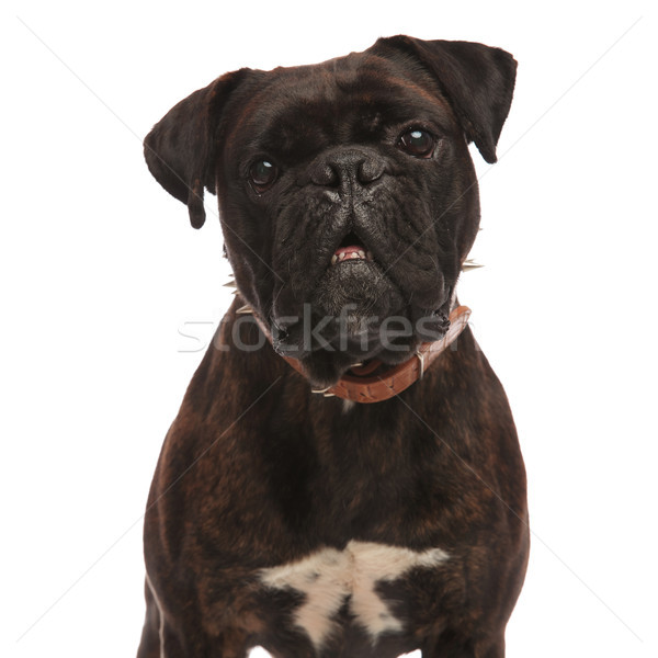 close up of adorable black boxer with mouth open Stock photo © feedough