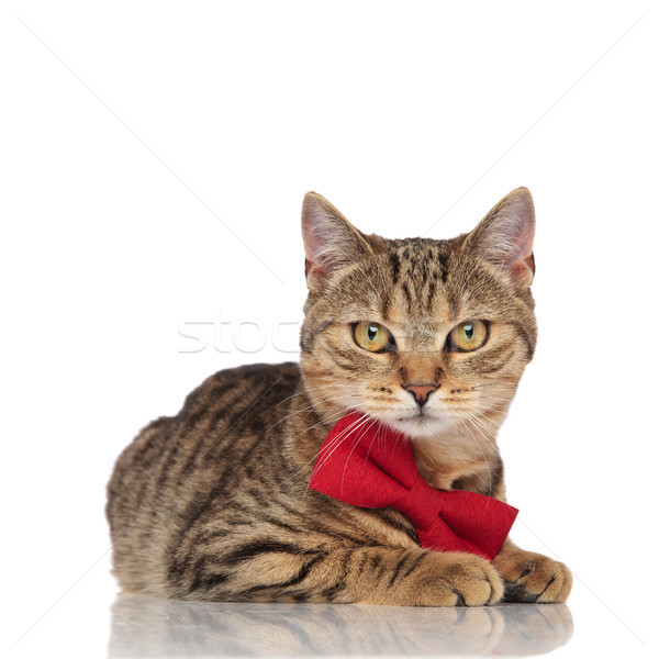 elegant british fold cat with red bowtie lying  Stock photo © feedough