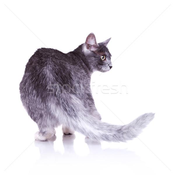 Foto d'archivio: Vista · posteriore · nice · gatto · grigio · piedi · bianco · ritratto