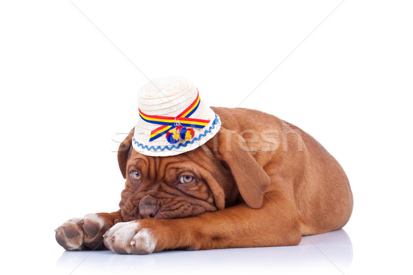 sad french mastiff wearing a traditional hat Stock photo © feedough