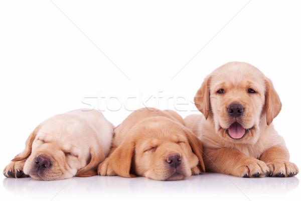 Stockfoto: Drie · aanbiddelijk · labrador · retriever · puppy · honden · witte
