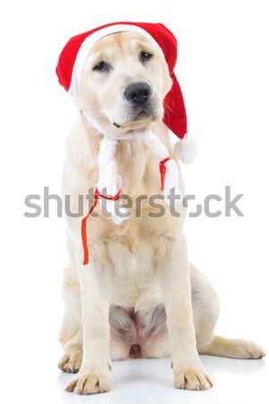 ülő labrador retriever kutya visel mikulás kalap Stock fotó © feedough