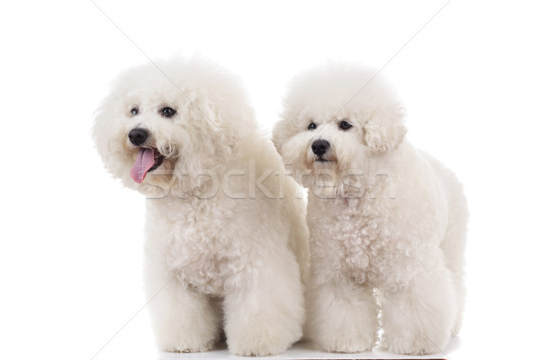 side view of two  panting bichon frise puppies standing  Stock photo © feedough