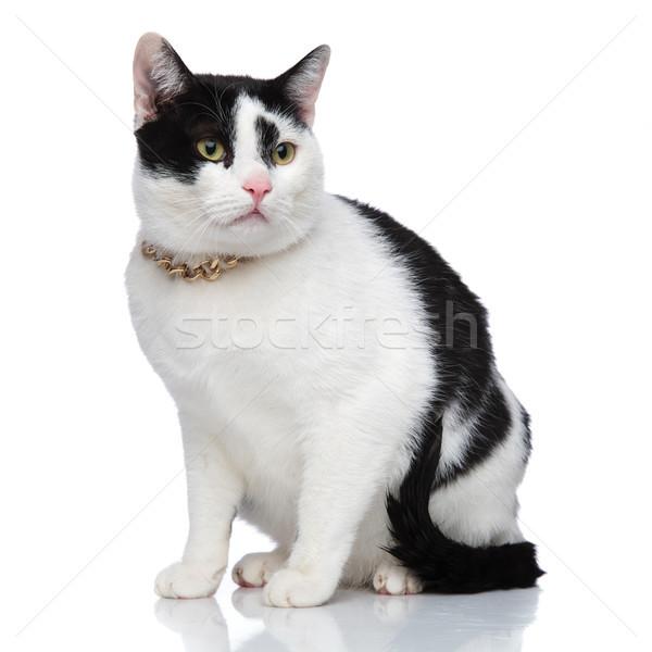 Vedere laterala adorabil pisică colier Imagine de stoc © feedough