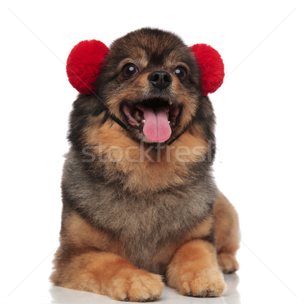 adorable lying pom dog with red earmuffs panting Stock photo © feedough
