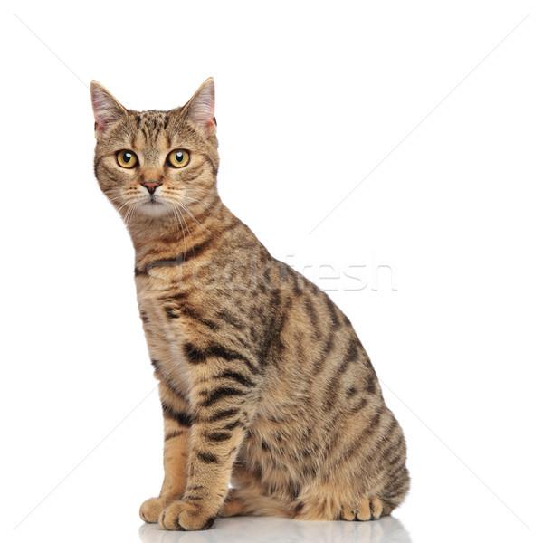 Oldalnézet ülő csíkos brit macska néz Stock fotó © feedough