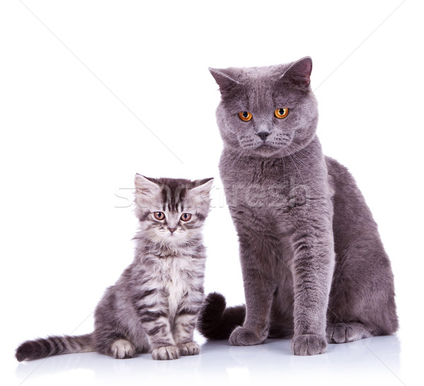 two very curious british cats Stock photo © feedough