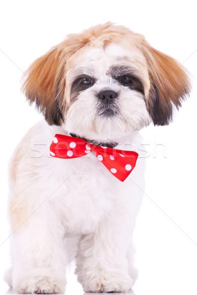 Stock fotó: Aranyos · kutyakölyök · áll · fehér · néz · kamera