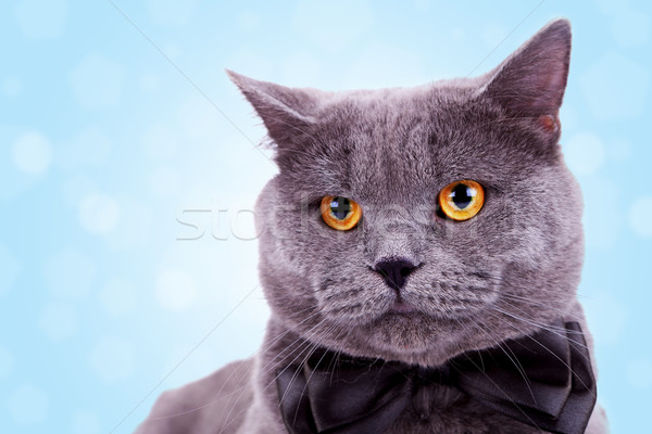 head of a cute big english cat  Stock photo © feedough