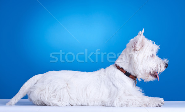 west highland white terrier laying down Stock photo © feedough