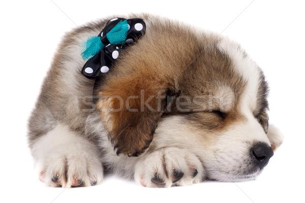 sleeping puppy Stock photo © feedough