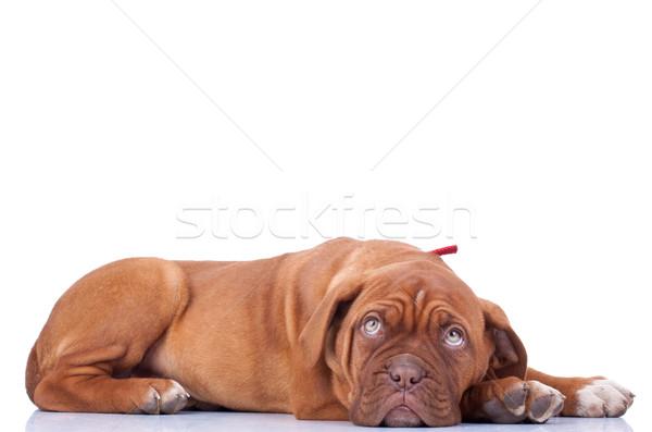 Dogue de Bordeaux Stock photo © feedough