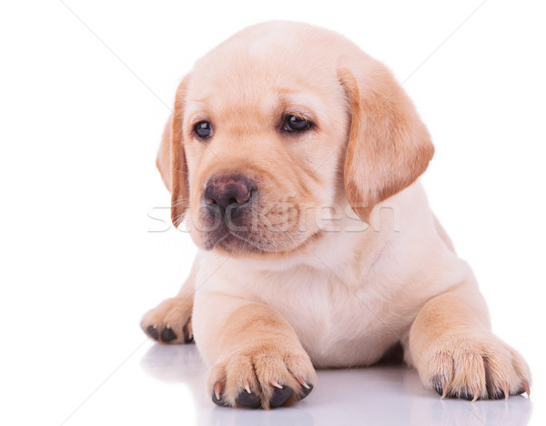 Stockfoto: Witte · labrador · retriever · puppy · hond · camera