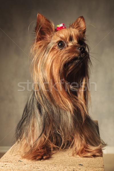 прелестный Йоркшир терьер щенков собака сидят Сток-фото © feedough
