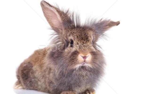 Lew głowie królik bunny kłosie Zdjęcia stock © feedough