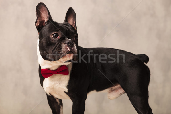 french bulldog puppy wearing a red bowtie while looking away Stock photo © feedough