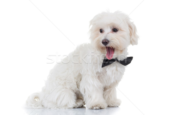 side view of a bichon puppy looking back Stock photo © feedough