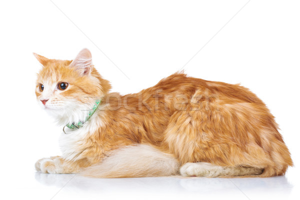 side view of an orange cat laying down  Stock photo © feedough