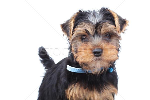 Foto stock: Pequeño · cachorro · pie · blanco · perro · fondo