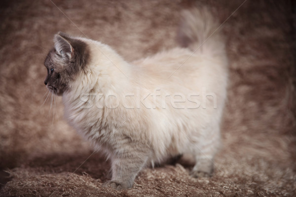 side view of a beautiful cat on furry background Stock photo © feedough