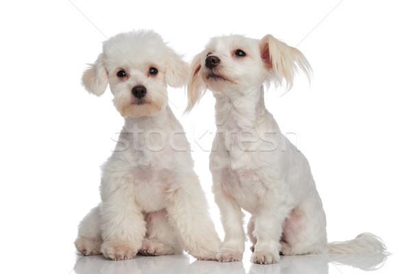 Cute weiß Welpen Paar sitzend Hund Stock foto © feedough