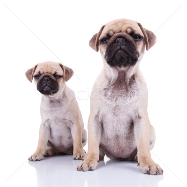 two very skeptical pug puppies  sitting Stock photo © feedough