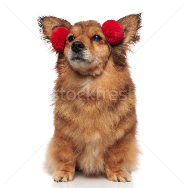 curious brown dog with red earmuffs looks up to side Stock photo © feedough