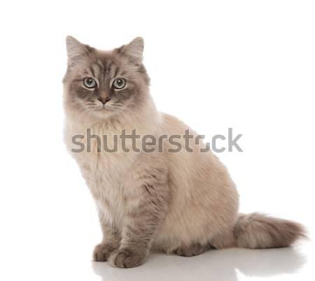 Foto stock: Cute · gato · gris · piel · ojos · azules · mentiras