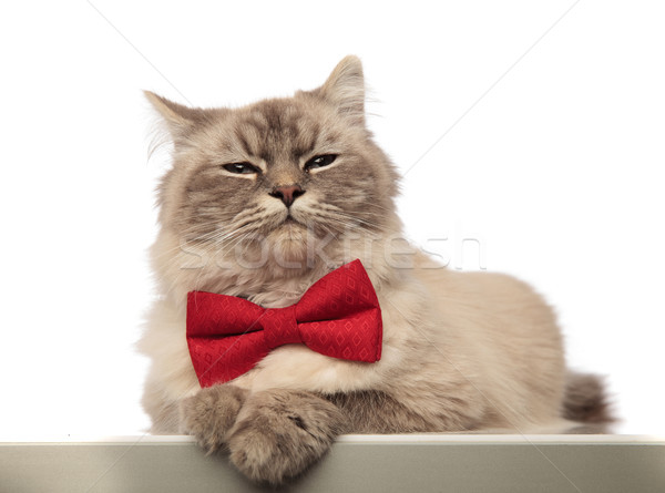 adorable grey cat looking stylish wearing a red bowtie Stock photo © feedough