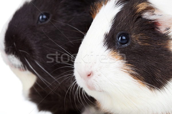 two cute guinea pigs isolated Stock photo © feedough