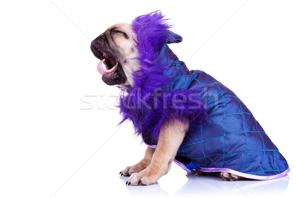 side of a screaming pug puppy dog Stock photo © feedough