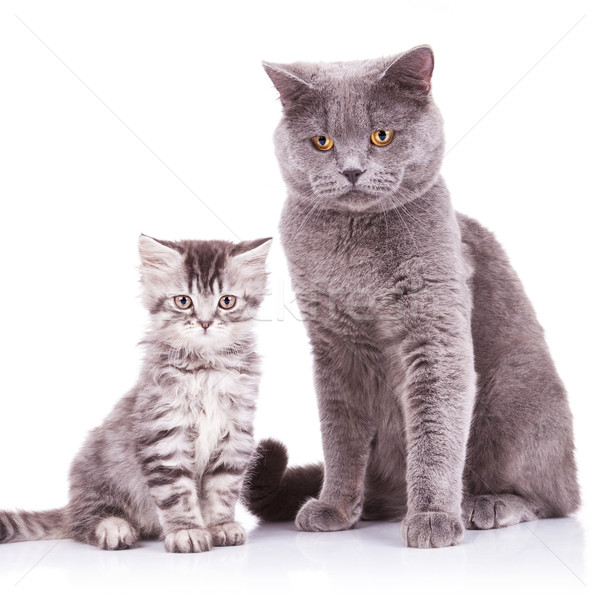 english cats, adult and cub Stock photo © feedough